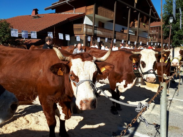 vaches-962